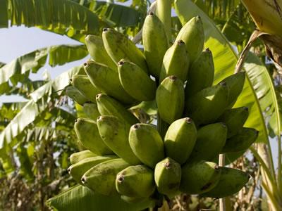 The Presidential Initiative on Banana Industrial Development (PIBID)